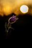 anémone pulsatille (Pulsatilla vulgaris) (G.NioncelPhotographie) Tags: anémone pulsatille pulsatilla vulgaris