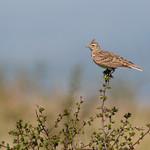 Skylark (Alauda arvensis) thumbnail