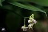 RUGIADA (Lace1952) Tags: primavera sottobosco fiori mughetto convallariamaialis gigliodelleconvalli effetto luce sfocato bokeh fuorifuoco rugiada veleno velenoso foglie