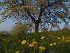 Dandelions and cherry blossom at Walberla (Bernhard_Thum) Tags: bernhardthum thum h6d100 hc3535 hasselblad cherryblossom nature franken