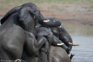 Elephant pileup