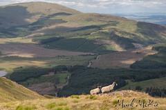 Sheep (Mark McKie) Tags: galloway gallowayhills glentrool gallowayhillloch sheep scotland scottishlowlands lochdee loch wigtownshire hillloch hillwalking minnigaff newtonstewart newtonstewartanglingassociation wildbrowntrout troutfishing wildtroutfishing
