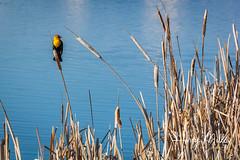 Yellow-Headed Blackbird (HarryMiller002) Tags: yellowheadedblackbird bird reeds pond leemetcalf bitterroot montana