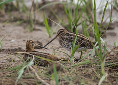 Common Snipe 21-07-2018-2095SPB 21-07-2018-2095 (seandarcy2) Tags: waders birds wildlife sword fight framptonrspb uk lincs marshland