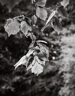 Beech Leaves in the Rain