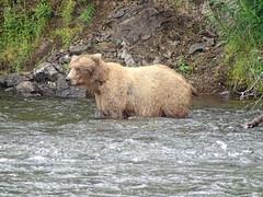 DSC07520 (jrucker94) Tags: alaska katmai katmainationalpark nationalpark bear bears grizzly grizzlybear brooksriver nature outdoors