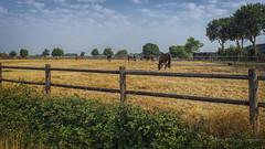 Hot & Dry (Ruud.) Tags: ruudschreuder sony7m2 sony alfa 7 m2 sonyalfa sonyalpha ilce7m2 sonyalphadslr landschap landschaft paysage zon sun sonne soleil roosendaal noordbrabant wouwseplantage nederland holland brabant brabantslandschap northbrabant netherlands warm droog droogte hot dry gras grass geel yellow paard paarden hors horses pferd pferden