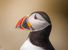 Puffin Portrait.. (DTT67) Tags: atlanticpuffin puffin 14xtciii 500mm 5div canon maine sealmachiasisland machias seabird wildlife nature bird