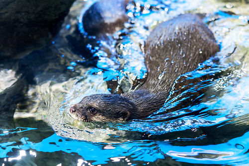 Asian Small-clawed Otter (Aonyx cinerea) of Enoshima Aquarium, Fujisawa : コツメカワウソ(藤沢市・新江ノ島水族館)
