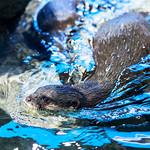 Asian Small-clawed Otter (Aonyx cinerea) of Enoshima Aquarium, Fujisawa : コツメカワウソ(藤沢市・新江ノ島水族館) thumbnail