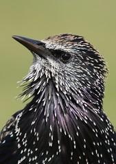 Starling's portrait (bilska.anna) Tags: