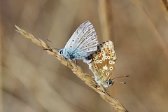 Bläulinge (Hugo von Schreck) Tags: hugovonschreck schmetterling butterfly macro makro insect insekt canoneos5dsr fantasticnature tamron28300mmf3563divcpzda010