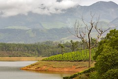 319A2277W  Western Ghats, Kerala, India (Priscilla van Andel) Tags: westernghats kerala india tea teaplantation ricefield indiantea mountainsofthewesternghats natureofindia munnar