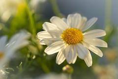 Shining in the evening sun (Martin Bärtges) Tags: flowers blüten blumen natur naturephotography naturfotografie nature makro makrofotografie macro macrophotography farbenfroh colorful sunset sunshine sun white nikon flower