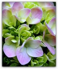 Joyful weekend, my dear Flickr friends! (SnežanaQ) Tags: flower hydrangea plant garden outdoor summer macro