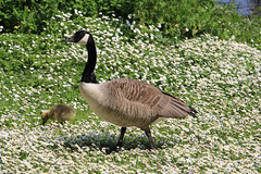 Mother and child (jpotto) Tags: uk derbyshire hardwick bird birds goose geese canadagoose gosling hardwicklakes