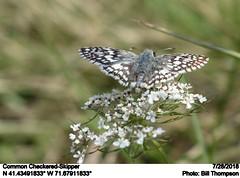 Common Checkered-Skipper (Bill.Thompson) Tags: commoncheckeredskipper pyrguscommunis ri insects