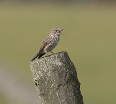Spotted Flycatcher (acerman17) Tags: wildlife nature perched singing flycatcher post bokeh meadow spotted