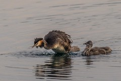 Dive! (Carol Christine Hall) Tags: dive chicks greatcrestedgrebe animals birds grebes lakeside