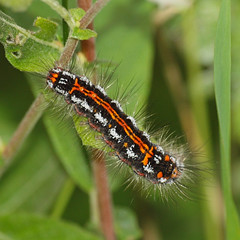 2018_06_0259sq (petermit2) Tags: yellowtailmoth caterpillar moth pottericcarr potteric doncaster southyorkshire yorkshire yorkshirewildlifetrust wildlifetrust ywt