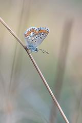 Argus (fabriciodo) Tags: argus butterfly wildlife mariposa papillon macro