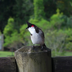 Red-whiskered Bulbul on post