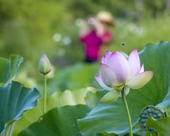 Focused bee (Tim Brown's Pictures) Tags: washington dc kenilworthaquaticgardens wetlands flowers marsh lotus lotusblossom lotusflower water visitors unitedstates