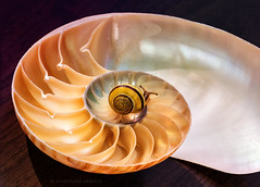 Shelly on a shell (marianna_armata) Tags: shelly shell nautilus spiral twisted macro mariannaarmata