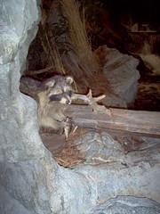 Raccoon (Adventurer Dustin Holmes) Tags: 2005 springfield missouri ozarks springfieldmo greenecounty indoor animal wood water fish raccoon coon animalia chordata mammal mammalia taxidermy rock basspro bassproshops outdoorworld