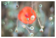 End of the poppy season _ 2 (leo.roos) Tags: poppy papaver klaproos red rood zaadbol seedhead angénieux100mm a7 pangénieuxparissthéandaxtype75f100105 projectorlens projectionlens july2018classicprimes week100 dyxum challenge darosa leoroos