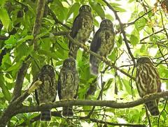 aobazuku (Conexão Selvagem) Tags: aobazuku kyoto palácio imperial corujas birds aves birdlife avesdojapão ninox scutulata