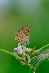 légèreté (jpto_55) Tags: papillon insecte macro bokeh xe1 fuji fujifilm hautegaronne france fujixf55200mmf3548rlmois ngc