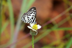 IMG_2031 (mohandep) Tags: wildlife gulakmale tkfalls bannerghatta lakes birding insects butterflies plants nature ugs