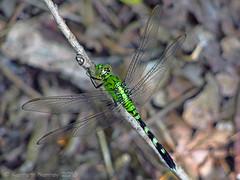 EASTERN PONDHAWK 29 (k.nanney) Tags: easternpondhawk erythemissimplicicollis dragonfly odonata skimmers libellulidae insect texasinsects texaswildlife villagecreekdryingbeds arlington texas tx tarrantcounty microfourthirds olympus ep5 olympuspen panasonicmicrofourthirds lumixgvario45200mmf456ii panasonic45200mmf4056ii kennethnanney kennanney nanney