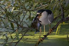 Black-crowned Night-Heron (JDA-Wildlife) Tags: wow birds nikon nikond7100 tamronsp150600mmf563divc jdawildlife johnny portrait closeup eyecontact heron blackcrownednightheron heronblackcrownednight whatbirdbestofday gorgeous brilliant whatbirdlunch