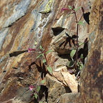 redstem monkeyflower, Erythranthe rubella (the pink form) thumbnail