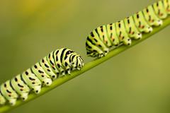 Common Swallowtail Caterpillar (Daniel Trim) Tags: papilio machaon caterpillar larvae larva milk parsley peucedanum palustre fenland fens norfolk shrumpshaw fen rspb britannicus macro flower plant