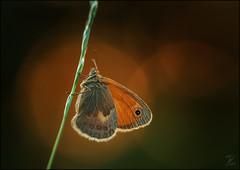 Kleines Wiesenvögelchen (Small heath (butterfly)) (tzim76) Tags: kleines wiesenvögelchen small heath butterfly schmetterling sunset sonnenuntergang rot makro macro canon outdoor wildlife stack