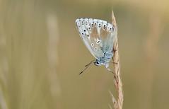 Chalkhill Blue (Polyommatus coridon). (Bob Eade) Tags: chalkhillblue polyommatacoridon southdownsnationalpark seaford sussex eastsussex europeanbutterflies downland grassland lycaenidae blue butterfly insect aberrant