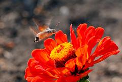 Taubenschwänzchen (jörgpreusser) Tags: blume blumen blüte blüten insekt insekten makro macro