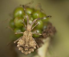 365/209 Syromastus rhombeus (Romeo Mike Charlie) Tags: rhombicleatherbug nymph syromastusrhombeus bug insect hampshire portsdown portsmouth england uk
