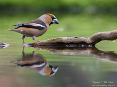 Hawfinch (Coccothraustes coccothraustes) (www.mikebarthphotography.com 1.5M Views thanks !) Tags: hawfinch coccothraustescoccothraustes