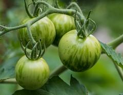 Tomatoes (hickamorehackamore) Tags: annesgarden ct colchester garden tomatoes