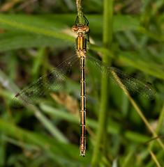 Emerald Damselfly - Lestes sponsa (Catherine Cochrane) Tags: scotland ayrshire lestessponsa macro outdoors damselfly insect macrolife macrophotography insects uk emeraldsamselfly