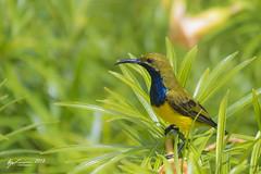 Olive-backed Sunbird (R. Francis) Tags: cinnyrisjugularis olivebackedsunbird portland portlandroad ryanfrancis ryanfrancisphotography qld queensland northqueensland capeyork capeyorkpeninsula lockhart