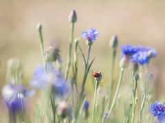 Coccinelle au pays des Stroumpfs * (Titole) Tags: coccinelle cornflower ladybug ladybird red blue nicolefaton titole