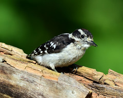 DSC_2149=72918MDown (laurie.mccarty) Tags: downy downywoodpecker woodpecker animal bird bokeh wildlife