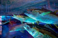 artificial tuna (severalsnakes) Tags: missouri pentax saraspaedy tamron287528xrdi wondersofwildlife aquarium k1 springfield zoo zoom