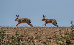 DSC9142  Hares... (jefflack Wildlife&Nature) Tags: hare hares brownhare animal animals mammal farmland fields wildlife wildlifephotography jefflackphotography sker countryside nature