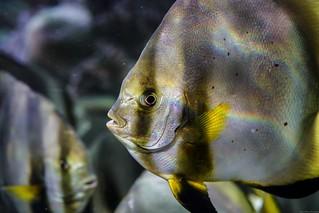 Portrait of a Scalar fish
